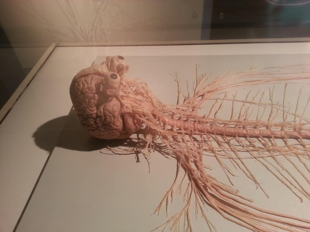 human brain eyes spinal column