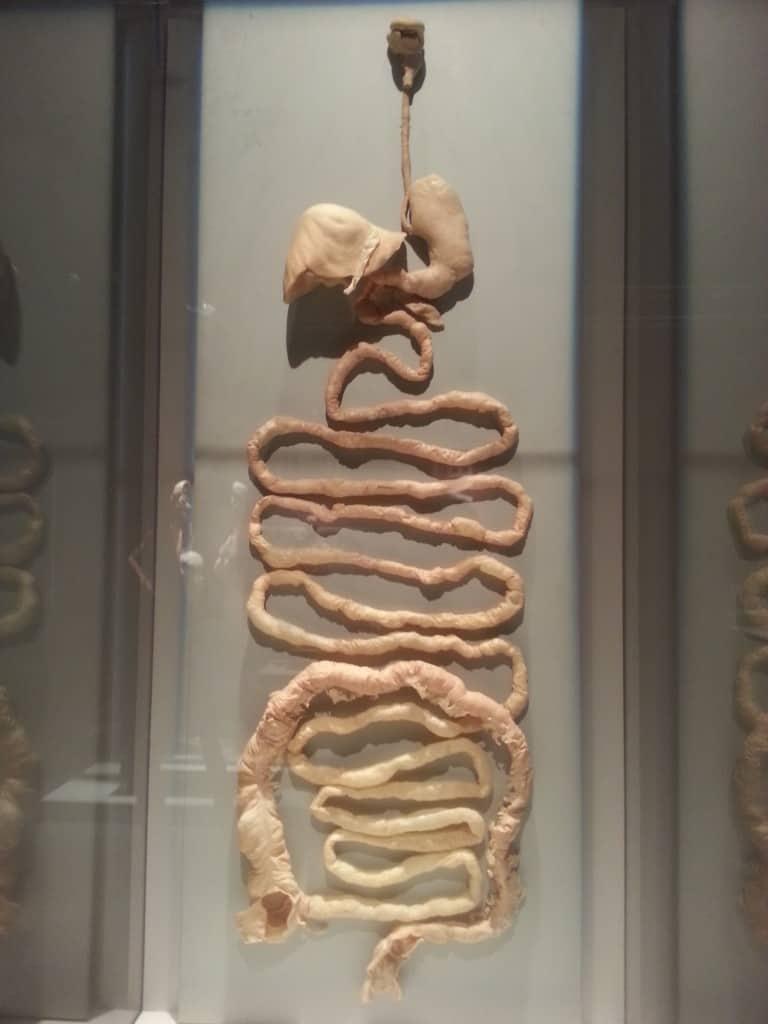 human intestinal system bodies exhibit