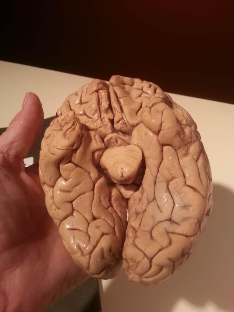 human brain bodies the exhibit
