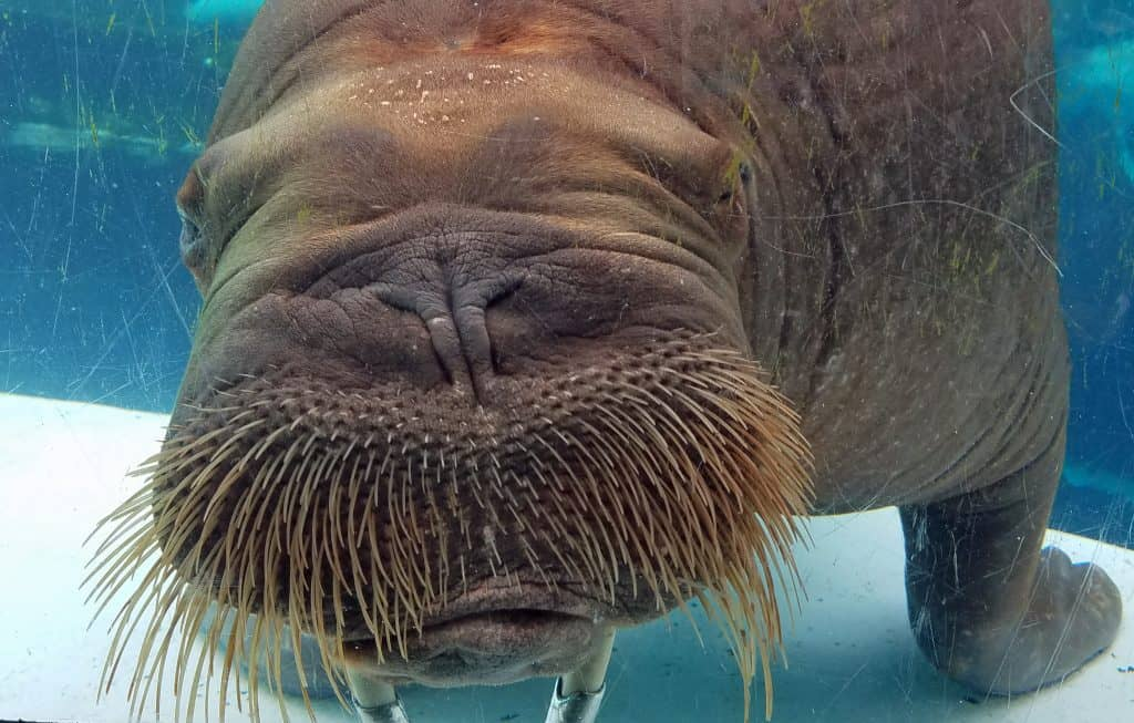 mitik the walrus