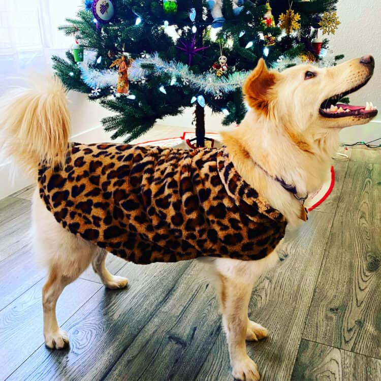 dog in a Christmas sweater