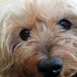 Taking Care of a Special Needs Dog: The Story of Missie the Yorkie